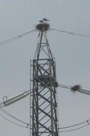 GRAZ Il nido delle cicogne bianche sul traliccio
