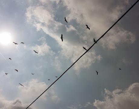 GRAZ Le cicogne in volo prima del lungo viaggio verso l'Africa 2014