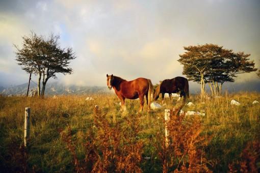 cavalli Matesini